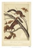 Audubon Squirrel III Giclee Print by John Audubon
