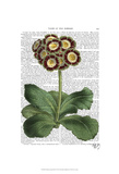 Primula Auricula Red Posters by  Fab Funky