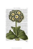 Primula Auricula Blue Art by  Fab Funky