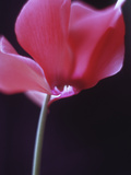Red Cyclamen Abstract Prints by Anna Miller