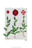 Italian Carnation 2 Prints by  Fab Funky