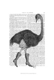 Ostrich In Boots Print by  Fab Funky