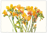 Freesia II Giclee Print by Tim