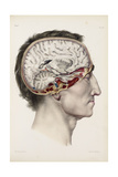 A Hand Coloured Lithograph of a Dissected Head in Profile Showing the Brain Giclee Print by Nicolas Henri Jacob