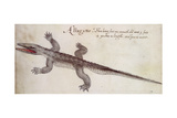 Alligator Giclee Print by John White