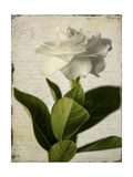 Gardenia Grunge I Premium Giclee Print by Honey Malek