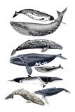 Whale Display II Plakater af Naomi McCavitt