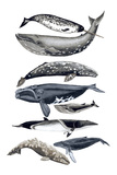 Whale Display II Prints by Naomi McCavitt