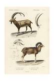 Antique Antelope and Ram Study Print by N. Remond