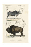 Antique Cow and Bison Study Prints by N. Remond
