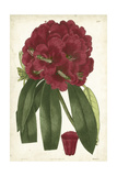 Antique Rhododendron I Art by  Curtis