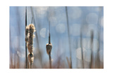 Light Dance on Cattails II Prints by Leda Robertson