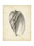 Antique Shell Study VI Premium Giclee Print by Ethan Harper