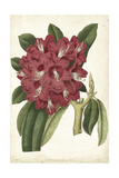 Antique Rhododendron II Posters by  Curtis