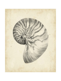 Antique Shell Study I Premium Giclee Print by Ethan Harper