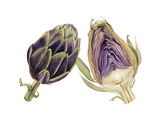Watercolor Artichoke Poster by Michael Willett