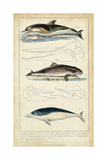 Antique Whale and Dolphin Study II Poster by G. Henderson