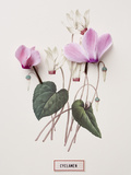 Floral Decoupage - Cyclamen Giclee Print by Camille Soulayrol