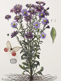 Floral Decoupage - Aster Giclee Print by Camille Soulayrol