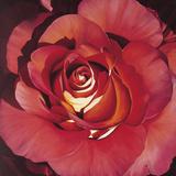 Spanish Rose Giclee Print by Jennifer Harmes