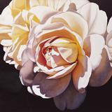 White Rose Giclee Print by Jennifer Harmes