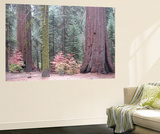 Sequoia Trees Wall Mural by  NaxArt