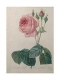 Petaled Rose Art by Pierre-Joseph Redoute