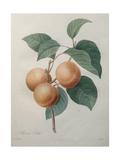 Peach Nancy Prints by Pierre-Joseph Redoute