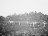 Plowing on a Cuban Sugar Plantation Photo