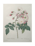 Adelaide of Orleans Rose Print by Pierre-Joseph Redoute