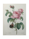 Petaled Rose Prints by Pierre-Joseph Redoute