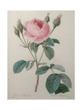 Mossy Rose Prints by Pierre-Joseph Redoute