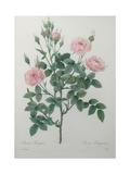 Tassled Rose Print by Pierre-Joseph Redoute