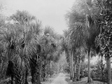 Palmettos at Bostroms, Ormond, Fla. Photo
