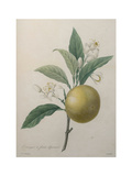 Oranges Print by Pierre-Joseph Redoute
