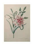Carnation Premium Giclee Print by Pierre-Joseph Redoute