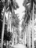 Avenue of Palms, Havana Photo