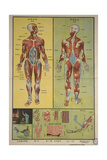 Human Skeletal System and Muscles Posters