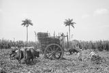 Gathering Cane on a Cuban Sugar Plantation Prints