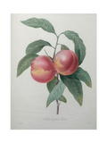 Peaches Prints by Pierre-Joseph Redoute