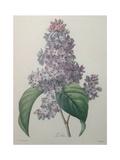 Lilacs Print by Pierre-Joseph Redoute