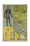 Anatomy of the Nervous System and the Functions of Brain Poster