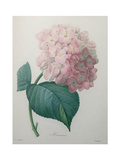Hydrangea Prints by Pierre-Joseph Redoute