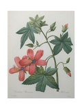 Hibiscus Prints by Pierre-Joseph Redoute