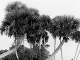 Studies in Palms, Sebastian Creek, Florida Prints