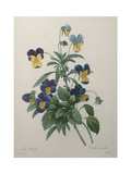 Pansy Posters by Pierre-Joseph Redoute
