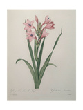 Gladiola Posters by Pierre-Joseph Redoute