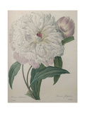 Fragrant Peony Posters by Pierre-Joseph Redoute