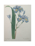 Fragrant Iris Prints by Pierre-Joseph Redoute
