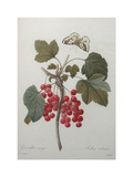 Red Gooseberry Print by Pierre-Joseph Redoute